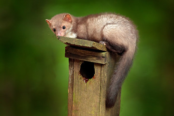 Nest wooden box, in the forest with predator, cute forest animal Beech marten, Martes foina, with...