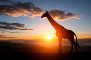 Stores photo Girafe The silhouette of two giraffes on a sunset background