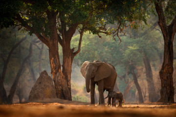 Fotorolgordijn Olifant Elephant with young baby. Elephant at Mana Pools NP, Zimbabwe in Africa. Big animal in the old forest, evening light, sun set. Magic wildlife scene in nature. African elephant in beautiful habitat.