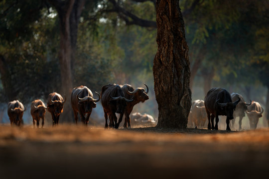 Herd of African Buffalo, Cyncerus cafer, in the dark forest, Mana Pools, Zimbabwe in Africa. Wildlife scene from Africa nature. Big animal in the habitat.