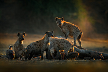 Africa wildlife. spotted hyena, Crocuta crocuta, pack with elephant carcass, Mana Pools NP, Zimbabwe in Africa. Animal behaviour, dead elephant with hyenas and vultures. Morning light in nature.