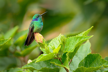 Beautiful hummingbird with blue face. Green Violet-ear, Colibri thalassinus, shiny bird from Colombia. Green bird with green nature background.