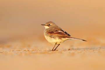 Cape Wagtail, Motacilla capensis, on the sand beach. Bird in the evening light, Walvis Bay, Namibia in Africa. Wildlife scene from nature.