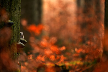 Owl hidden in the orange autumn forest, sitting on the tree polypore, nature habitat, Germany. Fall wood in orange, Bird hidden in the orange leaves. Boreal owl with big yellow eyes in autumn forest.