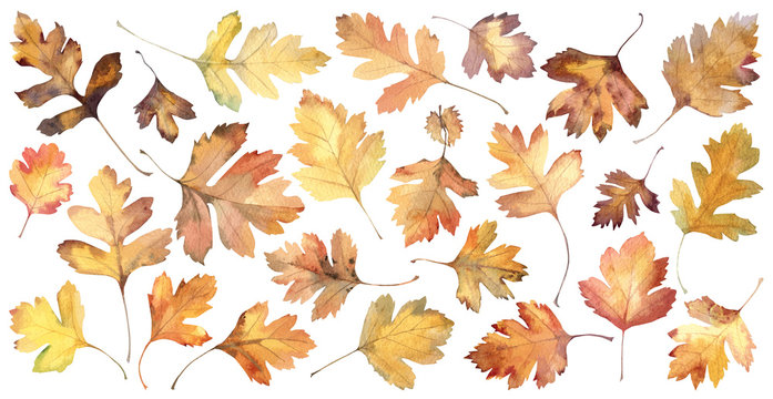 Autumn leaves of hawthorn on white