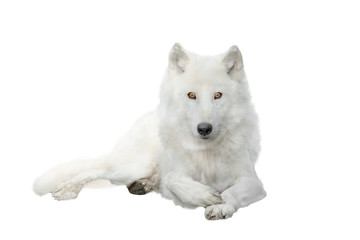 In de dag Wolf polar wolf isolated on white