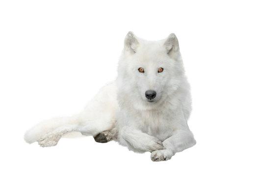 polar wolf  isolated on white