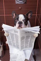 French bulldog is sitting on a toilet seat with the newspaper