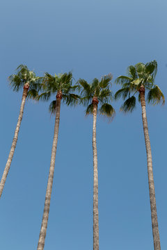 detail of four tall palm trees against a blue sky in Cannes, South of France