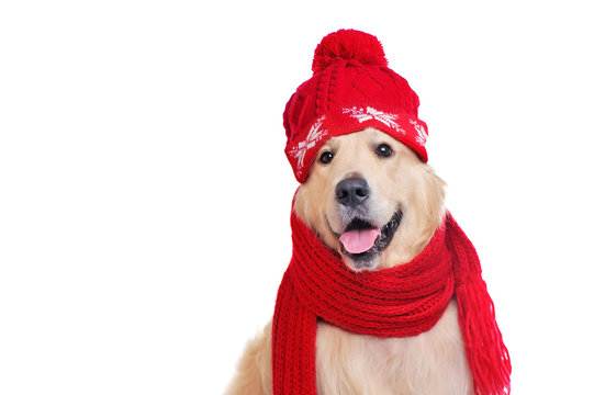 Portrait of golden retriever wearing red hat and scarf