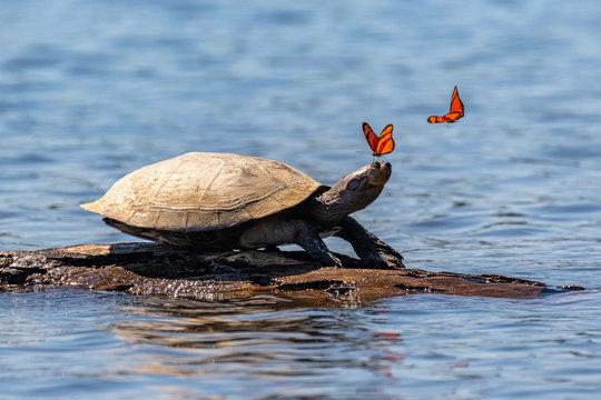Amazon side-necked turtle (podocnemis) with butterflies. Tambopata, Sandoval Lake, Amazonia, Peru.