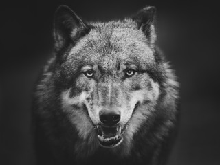 Canvas Prints Wolf Scary dark gray wolf (Canis lupus)