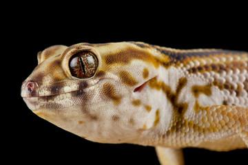 Wall Mural - Persian wonder gecko (Teratoscincus keyserlingii)