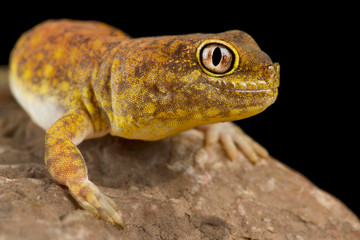Wall Mural - Koch's Chirping Gecko (Ptenopus kochi)