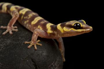 Wall Mural - Western marbled velvet gecko (Oedura fimbria)