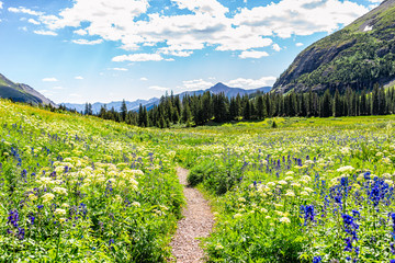 Open landscape view of green wildflowers meadow and footpath trail to Ice lake near Silverton, Colorado in August 2019 summer