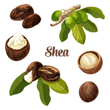 Shea nuts, vector realistic illustration.