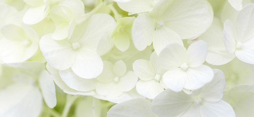 Wall Murals Hydrangea White hydrangea flowers panoramic border, banner, wedding romantic background. Flat lay.