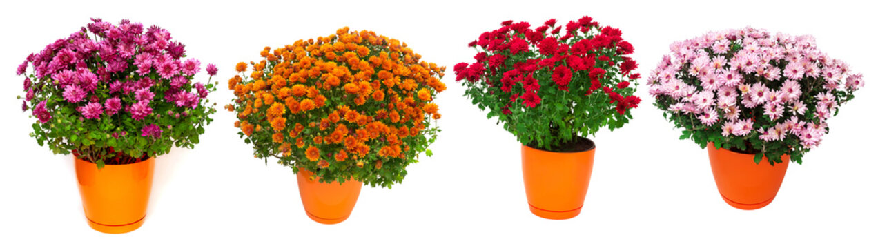 Collection chrysanthemum multiflora isolated on white background. Flowers multicolored autumn in pot. Flat lay, top view