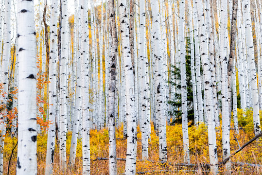 Foliage in autumn fall on Castle Creek scenic road with colorful yellow leaves on american aspen trees trunks forest in foreground in Colorado rocky mountains