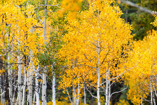 Castle Creek scenic road with colorful yellow leaves foliage on american aspen trees in Colorado rocky mountains autumn fall closeup