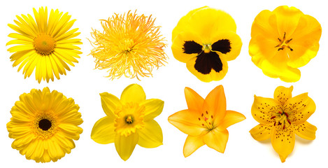 Collection head yellow flowers of daisy, chrysanthemum, gerbera, narcissus, tulip, pansies, lily isolated on white background. Beautiful floral delicate composition. Flat lay, top view