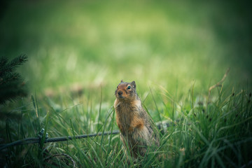 North American ground squirrel standing proudly in green environment