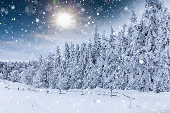 Falling snow in heavy winter. Landscape with pine trees in hoarfrost for a Christmas background.