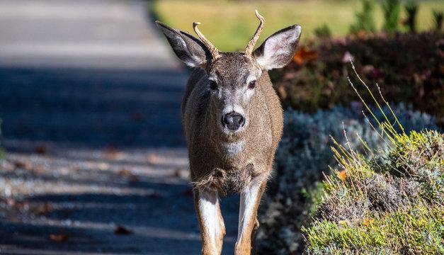 A resident black-tail deer walks the streets of Ashland, Oregon
