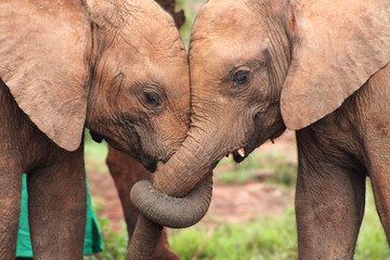 Close-up of two baby elephant orphans with their trunks entwined in a display of friendship and affection. (Loxodonta africana)