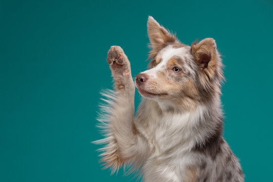 the dog waves its paw. Border Collie on a blue background. Pet in the studio