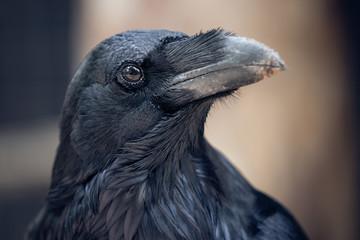 black portrait of raven