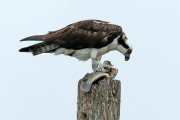 Adult Osprey (Pandion haliaetus) with fish meal