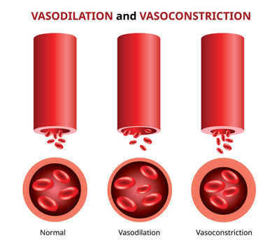 PrintVasodilation and vasoconstriction, Blood vessels comparison Vector