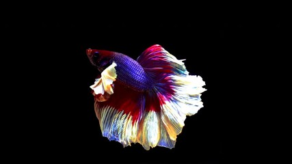 Wall Mural - Slow motion of Betta fish, siamese fighting fish isolated on Black background.