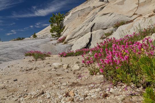 Mountain Pride (Penstemon newberryi) wildflowers blooming on the rocks in  Sierra Nevada mountains (Yosemite National Park, California)