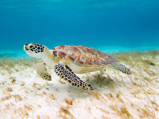 left side of a Beautiful green turtle under water