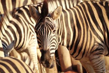 Fototapete - Zebra in the herd