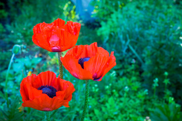 Foto op Canvas Poppy Red poppies in the garden. Selective focus.