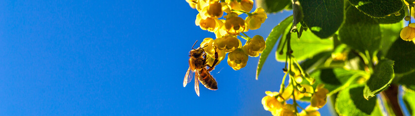 Honey bee collecting the nectar from yellow flowers barberry in the garden on background of blue sky. Panoramic banner. Nature in spring.