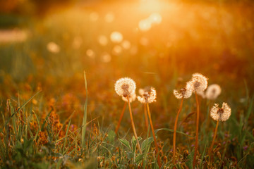 Wall Murals Spring Beautiful dandelion flowers in spring in a field close-up in the golden rays of the sun. Fluffy dandelions glow in the rays of sunlight at sunset in nature on a meadow. free space for text