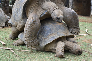 Two Giant Tortoises mating, close up picture.