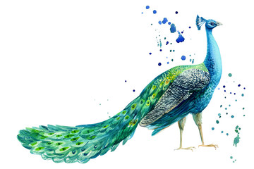 peacock bird on a white background, watercolor hand drawing