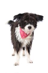 Chinese crested powderpuff dog iwith neckerchief