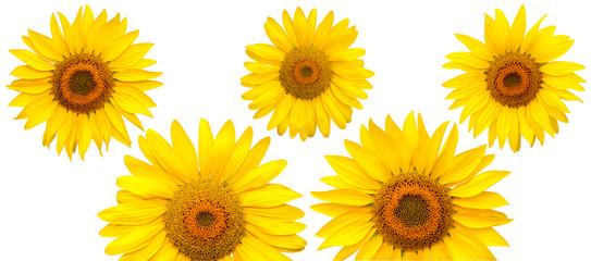 Sunflower flowers  isolated