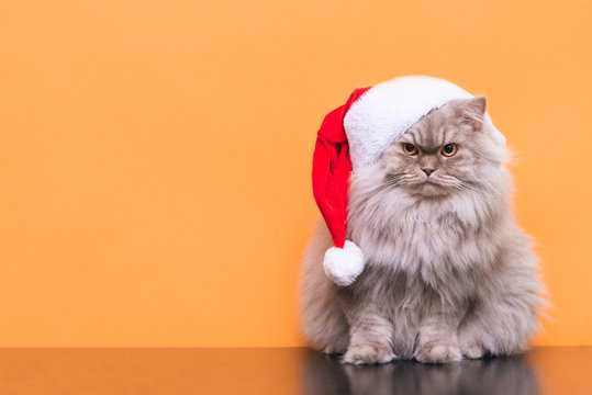 Сute fluffy cat in a Christmas hat is isolated on an orange background, looking into the camera. Cat Santa in a Christmas hat on an orange background. Christmas concept. Copyspace