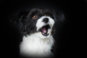 Cute barking dog on black background