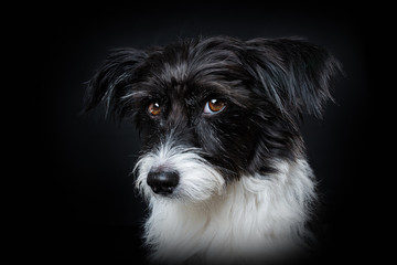 Cute little dog on black background looking to the camera