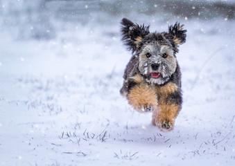 Fototapeta Ein Löwchen im Winter