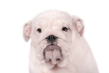 Wall Mural - Puppy breed English bulldog on a white background. Isolate.